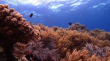 Locked Wide Shot Of Sinularia Soft Coral Moving In Surge With Schools Of Small Fish.
