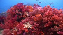 Swimover Across Beautiful Soft Coral Reef With Many Pretty Fish With Current.