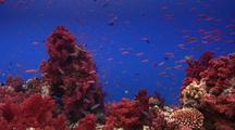 Locked Shot Of Shallow Coral Reef With Beautiful Soft Corals And Lots Of Small Fish.