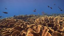 Swimover Shot Of Large Garden On Cabbage Coral With Schooling Fish Above.