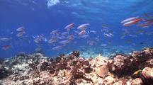 Swimover Across Mostly Dead Reef With Lots Of Fusiliers And Other Species Of Fish
