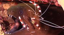 Pull And Zoom Shot Of Banded Coral Cleaner Shrimp Cleaning Java Or Giant Moray Eel