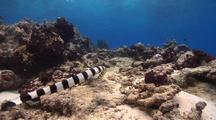 Follows Banded Sea Krait As It Swims Against Strong Current Searching For Food Over Rubble And Rock.