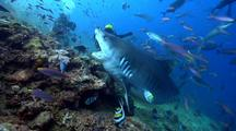 Enormous Tiger Shark Gets Hand Fed By Fijian Divemaster At Beqa Shark Feed Then Swims Over Divers And Gets Patted.