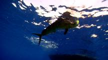 Mahi Mahi Fights On Fishing Line