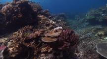 Swimover Across Diverse, Shallow Hard Coral Gardens With Plate, Table And Staghorn Corals And Reef Fish.