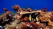 Three Moorish Idols And Other Reef Fish Feeding Around Hard Corals On Healthy Reef