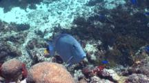 Blue Tang On Reef