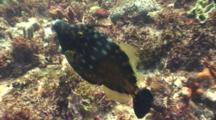 Whitespotted Filefish Swims Around Reef