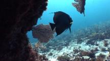 Gray Angelfish Silhouette