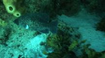 Soapfish Swims Around Reef