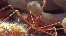Arrow Crab Feeds Near Giant Anemone