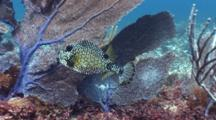 Smooth Trunkfish Swims Around Reef