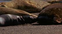 Harbor Seals, Pup Nursing