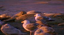 Harbor Seals And Sea Gulls Resting