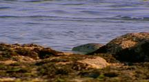 Harbor Seal Swims Along Shoreline