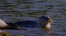 Harbor Seal Pup In The Water