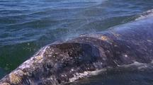 Gray Whale Surfaces