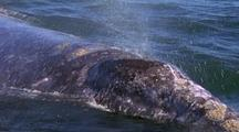 Gray Whale Surfaces And Blows