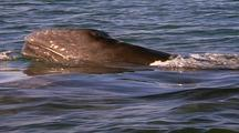 Gray Whale Mom And Calf