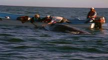 People Touching Friendly Gray Whales