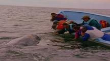 People Touching Friendly Gray Whale