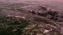 Gray Whale Mom And Calf Surfacing