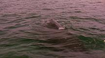 Gray Whale Rolling On Surface