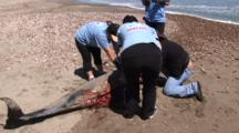 Necropsy Of Common Dolphin On Peru Coast,Pan To Dead Dolphin On Peru Coast