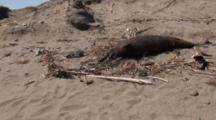 Dead Dolphins On Peru Coast