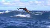 Bottlenose Dolphins Leaping In Waves