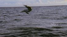 Spinner Dolphin Leaps, Spins