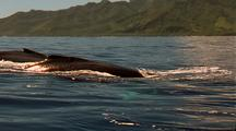 Humpback Whale - Surfacing, Traveling, Blows