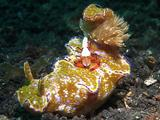 Nudibranch With Cleaning Shrimp On Top