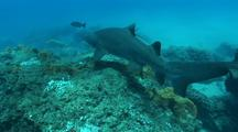 Sand Tiger Sharks(Ragged Tooth Sharks) Swimming Along Coral Reef
