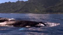 Humpback Whales Surfacing