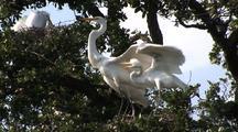 Great Egrets - Parent Feeds Chicks