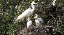 Great Egret - Feeding Chicks
