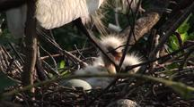 Snowy Egret - Covers Newborn Chicks In Nest