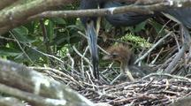 Tricolored Heron Tends Newborn Chick In Nest