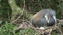Tricolored Heron Tends Eggs In Nest