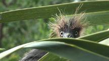 Newborn Tricolored Heron Peers Out Of Nest