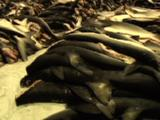 Shark Carcasses Stacked After Offloading From Ship
