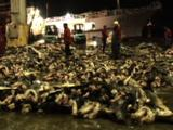 Workers Move Shark Carcasses Around On Dock