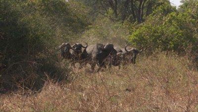 Cape Buffalo Running