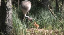 European Crane Standing And Showing Her Chick The Way