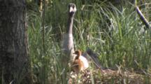 European Crane Sitting And Looking Around On Nest With Chick