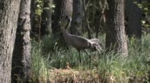 European Crane Standing And Looking Around  On Nest With Chick