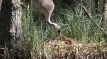 European Crane Standing On Nest Showing Food To Her Chick