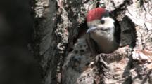 Great Spotted Woodpecker Chick Looking Out Nesting Hole